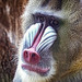 Mandrill from Gabon West Africa at the Portland (OR) Zoo