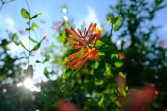 Coral Honeysuckle Sunrise (Gene Ellison) Tags: plant vine coralhonesuckle red flowers sun sunstar nature photography naturephotography morning fujifilm velvia sooc