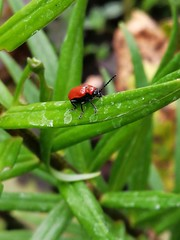 Insect (msergeevna) Tags: insect beetle red grass green honor10i june summer