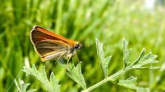 Толстоголовка (Yuriy Kuzmenok) Tags: природа бабочка толстоголовка макро