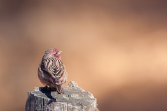 Beautiful Rosefinch (male) (Rajiv Lather) Tags: beautifulrosefinch carpodacuspulcherrimus india indian birds birding birder himalayan mountains photograph image photo pic nature wildlife