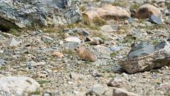 Pika (matt.sellars) Tags: colorado blueriver travel photography continentaldivide