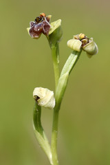 Bumblebee Orchid - Ophrys bombyliflora (Roger Wasley) Tags: bumblebeeorchid ophrysbombyliflora samos orchids greek greece island plant flower