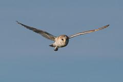 Barn Owl (robin elliott photography) Tags: owl barnowl barnowls feathers