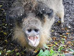 Big scary, hairy pig (Alan_Davies) Tags: animals cow pig shropshire shropshireway walk