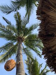 Palm Trees at Paty's Marimar (nan palmero) Tags: zihua zihuatanejo mexico visitmexico iphone iphonexs palmtrees thompsonhotels hyatt thompsonzihuatanejo playalaropa laropabeach