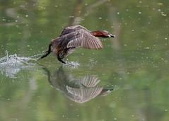 Little Grebe ( Tachybaptus ruficollis ) (Dale Ayres) Tags: little grebe tachybaptus ruficollis bird nature wildlife water