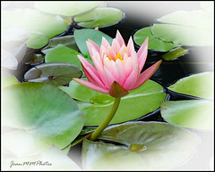 Water Lily (JeanM16) Tags: flowers water lilies pond nature outdoors spring