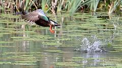 Lapasorsa - Shoveller - Anas clypeata 152 (Hannu Tervonen) Tags: 2019 linnut birds lapasorsa shoveller