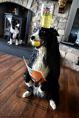 Happy Father's Day (ASHA THE BORDER COLLiE) Tags: funny dog border collie picture fathersday beer head card caption daddy ashathestarofcountydown connie kells county down photography