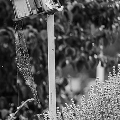 P1000866a SW (oberbayer) Tags: spider spiderweb spinne bw sw