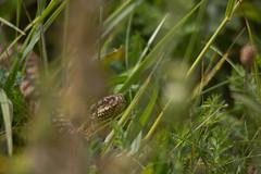 Vipère péliade - Vipera berus (Sven Normant) Tags: serpent vipere snake reptile ground sun