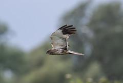 Marsh Harrier-5055056 (seandarcy2) Tags: birds bif wild wildlife harrier marshharrier raptors birdsofprey fenland norfolk uk