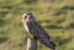 Short Eared Owl - - (Asio flammeus) - 'Z' for zoom (hunt.keith27) Tags: talons bird feathers wings quartering asioflammeus shortearedowl owl eyes beautiful magnificent medium sized owls pale underwings yellow mammals especially voles animal canon grass somerset sigma post perched