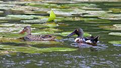Lapasorsa - Shoveller - Anas clypeata 367 (Hannu Tervonen) Tags: 2019 linnut birds lapasorsa shoveller