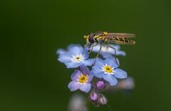 Sphaerophoria species hoverfly - female (markhortonphotography) Tags: female deepcut surrey macro hoverfly nature flower surreyheath wildlife syrpidae insect forgetmenot sphaerophoria invertebrate