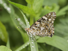 Photo of Butterfly - Painted Lady