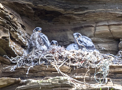 Peregrine Falcon (marra121) Tags: whitehaven cumbria wagon road cliffs rock face bird peregrine falcon nest flying chicks young
