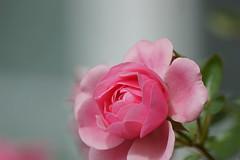 DSC02115.JPG (kuechef) Tags: flowers rose rosen lila fantastic nature wow