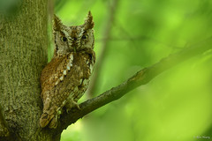 Eastern Screech Owl (rufous morph) (aj4095) Tags: eastern screech owl nature wildlife outdoor tree bird nikon