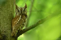 Eastern Screech Owl (rufous morph) (aj4095) Tags: eastern screech owl nature wildlife outdoor tree bird nikon