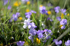 Viola corsica subsp. limbarae (babajuanne) Tags: flowers flower bloom blooms fioritura fioriture linas montelinas colors