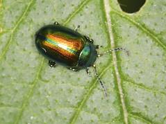 Photo of Dead-nettle Leaf Beetle - Chrysolina fastuosa