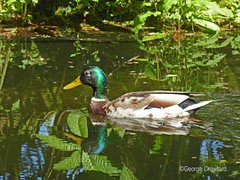 Benmore Pond2 (g crawford) Tags: benmore garden gardens botanic botanicgarden botanicgardens benmorebotanicgardens benmorebotanicgarden pond water reflection reflect reflected dunoon argyll scotland crawford panasonic lumix tz60 bird duck mallard