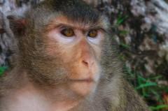 (Kelly Renée) Tags: cambodia macacafascicularis seasia southeastasia macaque monkey portrait siemreap siemreapprovince
