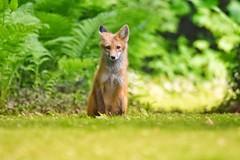 Saying goodbye (Peter Granka) Tags: fox redfox