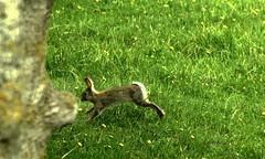 Conejo (cordobelillo ll) Tags: conejo fauna new