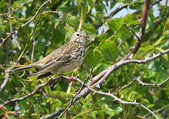 Meadow Pipit (eric robb niven) Tags: ericrobbniven scotland meadow pipit wildlife wildbird springwatch dundee