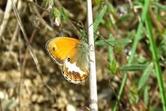 Fadet des Garrigues (bernard.bonifassi) Tags: bb088 06 alpesmaritimes 2019 juin printemps canonpowershotsx60hs counteadenissa papillon insecte