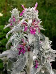 Unusual stems and leaves of gray (msergeevna) Tags: gray flowers nature fleurs kesä kukkia harmaa luonto honor10i