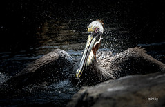 Brown Pelican (jt893x) Tags: 150600mm bird brownpelican d500 jt893x nikon nikond500 pelecanusoccidentalis pelican seabird sigma sigma150600mmf563dgoshsms thesunshinegroup coth alittlebeauty coth5 sunrays5