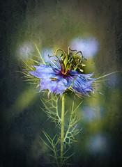 Nigella (judy dean) Tags: judydean 2019 flower nigella loveinamist blue texture ps