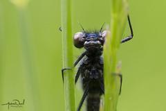 Banded Demoiselle Hanging Around (AndyNeal) Tags: animal wildlife nature insect damselfly bandeddemoiselle macro