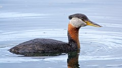 Red-necked Grebe (Equinoxic) Tags: bird duck spring grebe alaska