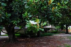 Magnolia v2 (Gene Ellison) Tags: tree magnolia white flower green leaves nature photography naturephotography house yard fujifilm velvia