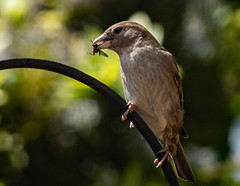 House Sparrow (Passer domesticus) (Julian Chilvers) Tags: bird housesparrow fly insect animal