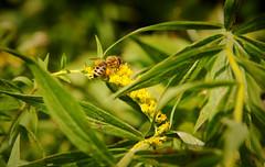 Nectar (wquickery) Tags: honeybee indiana nature forest canon5d macro