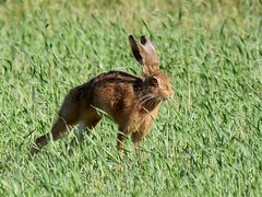 On your marks (cliffordglengarry) Tags: brownhare