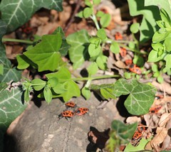 IMG_2783 (rain_chalice) Tags: beetles ivy