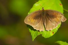 Butterfly (Capturedbyhunter) Tags: fernando caçador marques fajarda coruche ribatejo santarém portugal pentax k5 smc fa 100mm f28 macro pentaxfa100mmf28macro butterfly borboleta bokeh dof nature natureza pentaxart