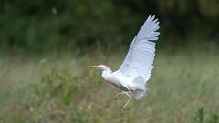 Héron garde-boeufs Bubulcus ibis - Western Cattle Egret (yquertenmont) Tags: bubulcusibiswesterncattleegret hérongardeboeufs nature ornitho