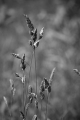greyscale grass (EllaH52) Tags: monochrome blackwhite greyscale grass bokeh macro nature summer minimalism simplicity