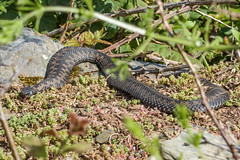 Adder about to slough skin (Matchman Devon) Tags: tobys path ringmore south hams devon adder viper berus