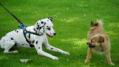 2019-06-15_14-06-00_ILCE-6500_DSC07719 (Miguel Discart (Photos Vrac)) Tags: 177mm 2019 animal animalphotography animals animalsupclose animaux belgie belgique belgium bru brussels bruxelles bxl bxlove chien divers dog dogs e18135mmf3556oss focallength177mm focallengthin35mmformat177mm ilce6500 iso320 nature naturephotography pet sony sonyilce6500 sonyilce6500e18135mmf3556oss