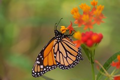 The Monarch! (Carlos Santos - Alapraia) Tags: ngc flickrcentral ourplanet animalplanet canon nature natureza wonderfulworld highqualityanimals unlimitedphotos fantasticnature borboleta butterfly