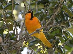 _CLZ6565 (catherine.zinsky711) Tags: oriole bullocks bullocksoriole bird